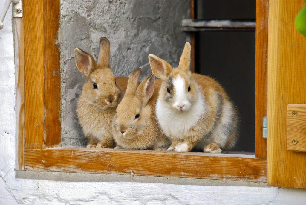 Kaninchenseuche